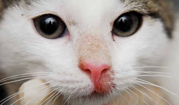 Стригущий лишай у кошек: симптомы, лечение и фото лишая у кошки