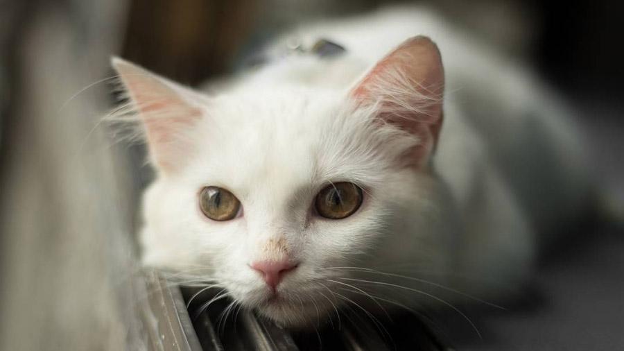 порода кота ангора