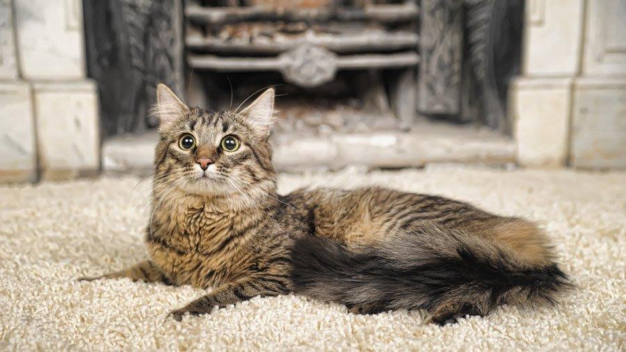 порода кошек мейн кун описание