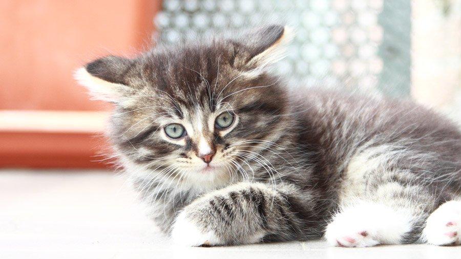 Сибирская кошка: фото породы