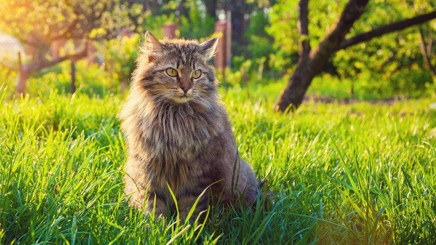 Сибирский кот: характеристика породы, окрас и характер