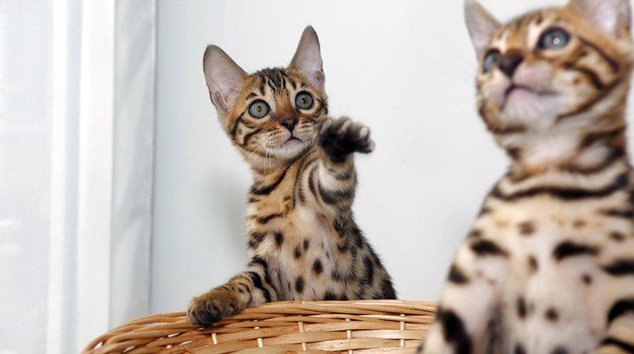 Бенгальская кошка: все о кошке, фото, описание породы, характер, цена | 503x900