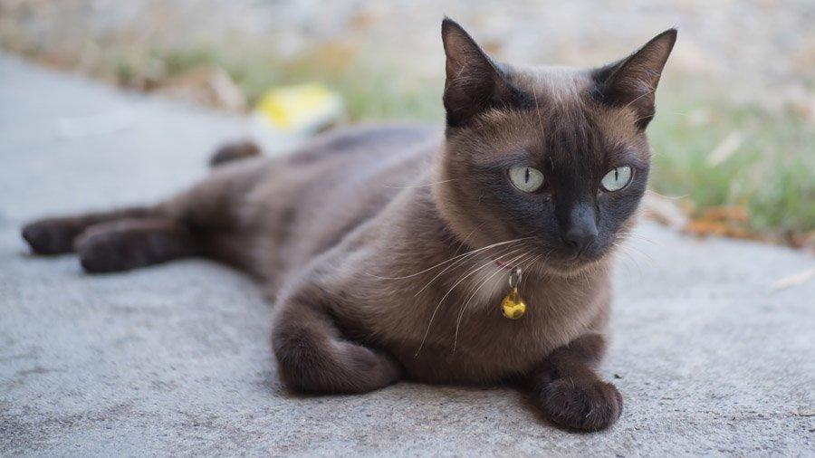 бирма кошка описание породы