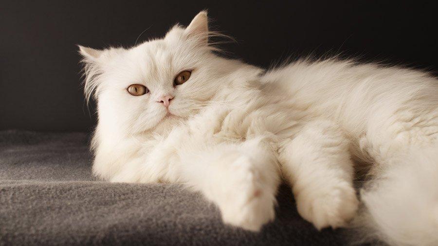 котов персидских фото