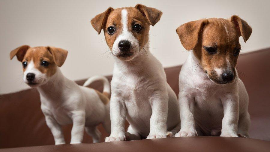 Собака Джек Рассел Терьер: описание породы, фото, цена ...