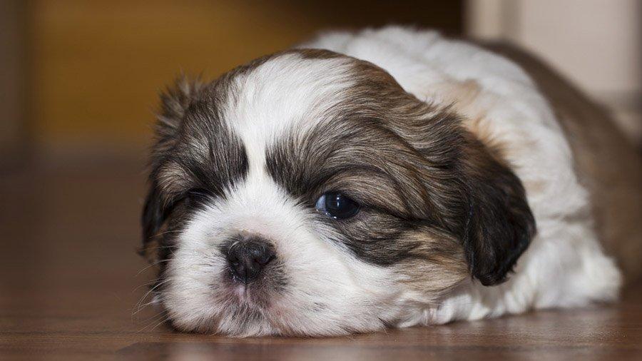 фото породы собак ши-тцу