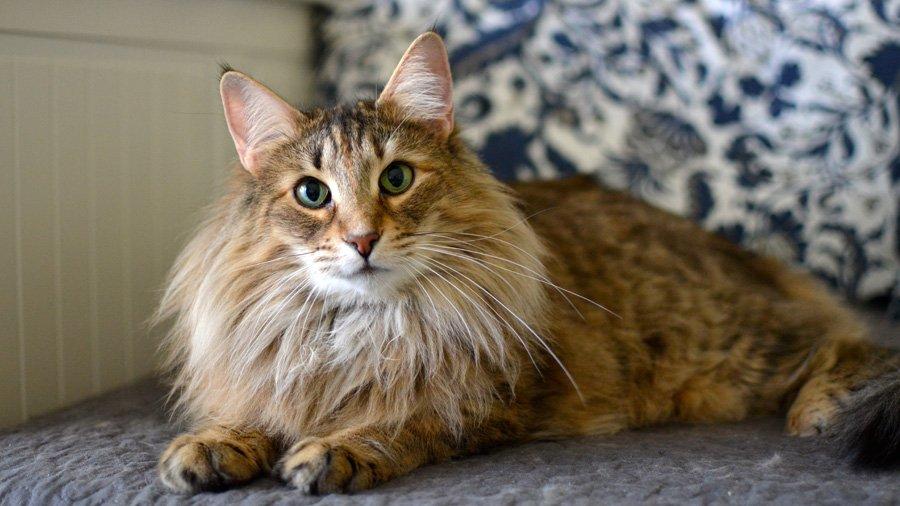 современного стиля норвежская лесная порода кошек фото и описание вышла