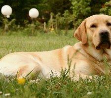 Labrador lying on the grass