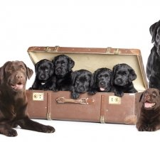 Labrador family