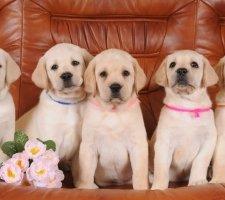 Five Labrador puppies