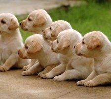 Seven labrador puppies
