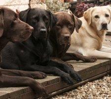 Black, chocolate (brown) and yellow labrador