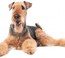 Airedale photo 5