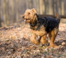 Airedale Terrier photo 3