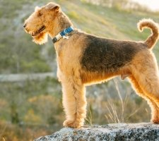 Airedale photo 9