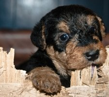 Airedale Terrier photo 2