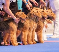 Airedale photo 1