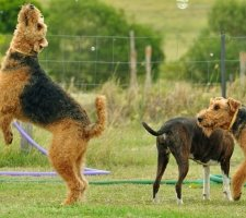 Airedale Terrier photo 7