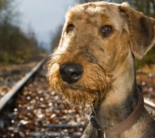 Airedale Terrier photo 6