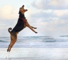 Airedale Terrier photo 4