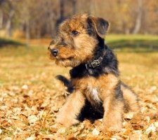 Airedale photo 8