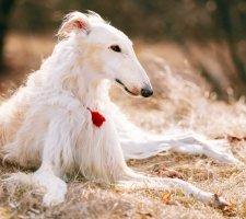 Russian greyhound photo 1