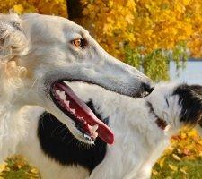 Russian greyhound photo 4