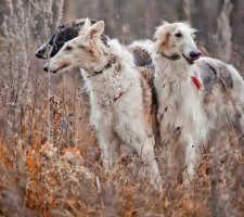 Russian greyhound photo 3