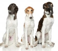 Russian greyhound photo 5