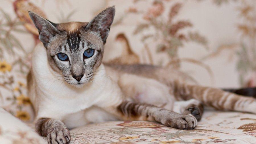 сиамские кошки описание породы