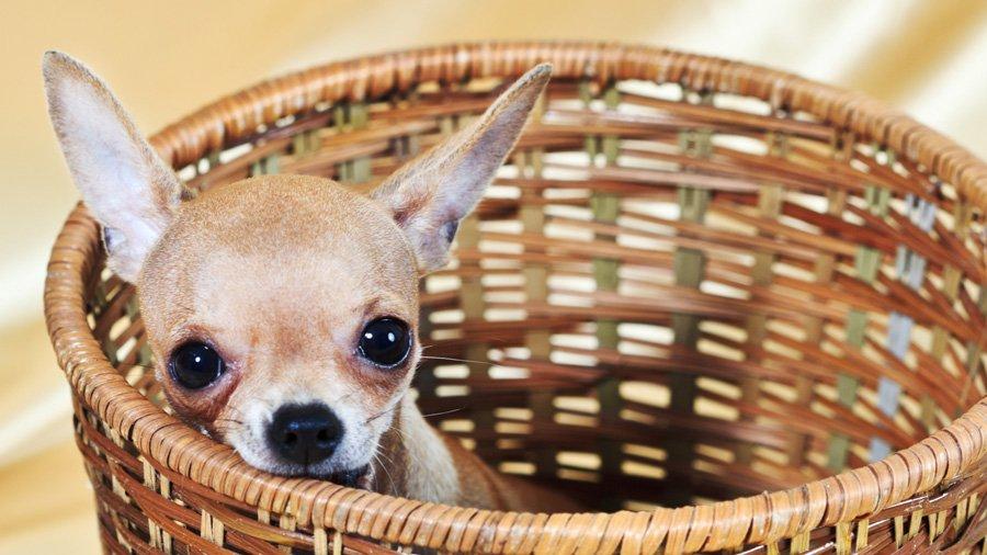 Клички для собак мальчиков чихуахуа