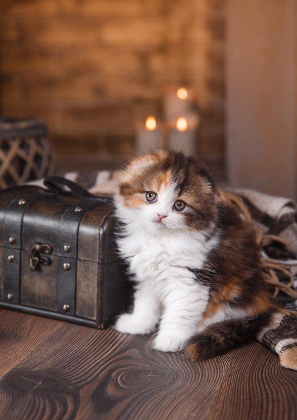 Плотный живот у кошки причины и что делать