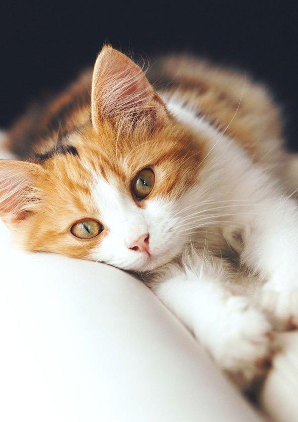 Рентгеновский снимок котенка с пневмонией