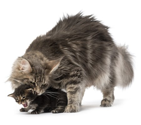 Здорова ли кошка если твердый живот у кошки Из-за чего у кошки стал твердый живот