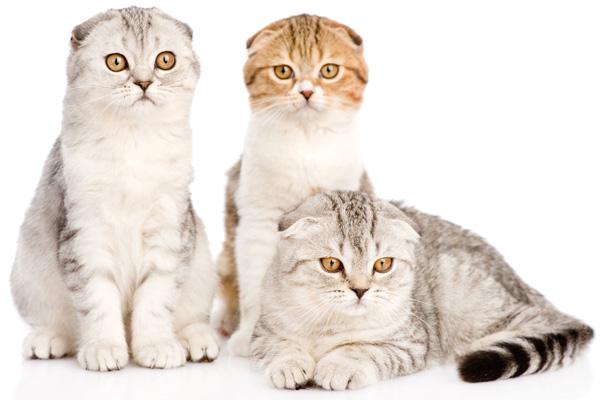 Сколько ходят британские беременные кошки сроки, этапы и особенности по неделям
