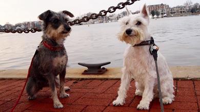 собаки породы шнауцер