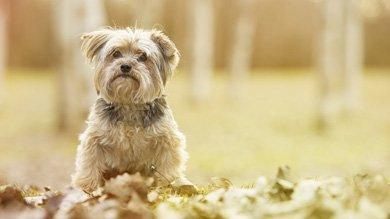 собаки похожие на йоркширских терьеров