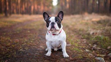 порода собаки французский