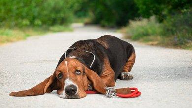 охотничья собака бассет хаунд