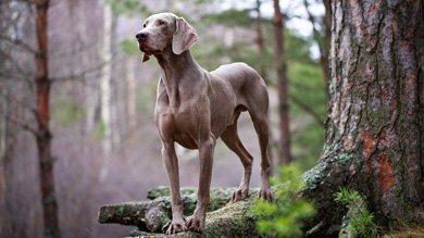 веймаранер фото собаки описание породы