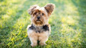 Собака породы Йоркширский терьер фото 1
