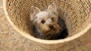 Собака породы Йоркширский терьер фото 5