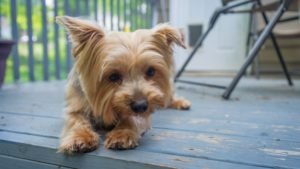 Собака породы Йоркширский терьер фото 3