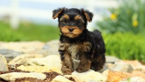 Собака породы Йоркширский терьер фото 2