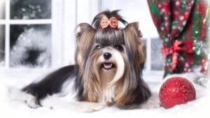 Собака породы Йоркширский терьер фото 4
