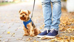 Собака породы Йоркширский терьер фото 9