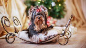 Собака породы Йоркширский терьер фото 8