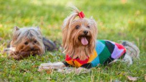 Собака породы Йоркширский терьер фото 7