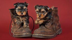 Собака породы Йоркширский терьер фото 6