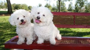 Собака породы Бишон фризе фото 5